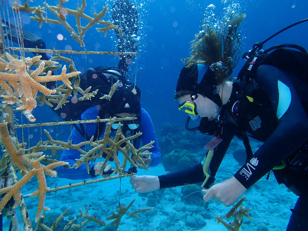 Attaching the baby coral to the tree in Bonaire.