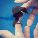 Giddy Up! Exploring the World of Seahorses at Kona, Hawaii's Seahorse Farm