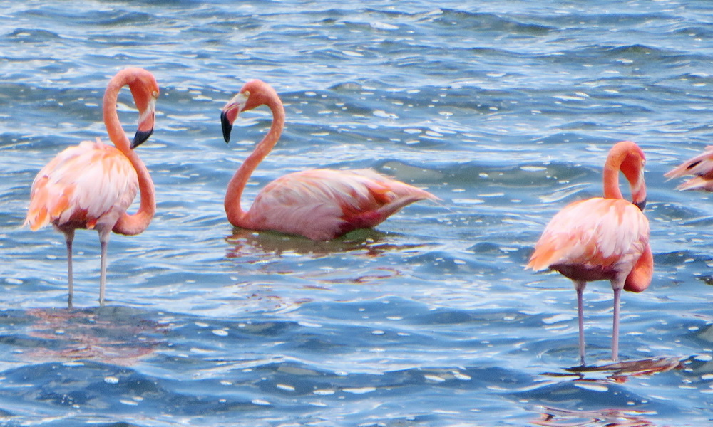 Wild flamingos love Bonaire's salt ponds