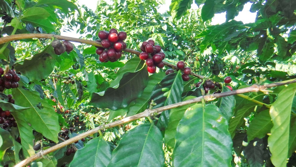 Coffee cherries - Aloha really does grow on trees!