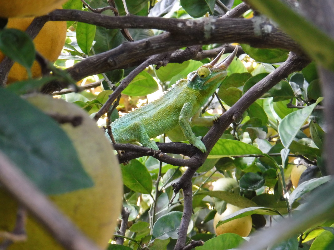Can you spot the chameleon in this tree?